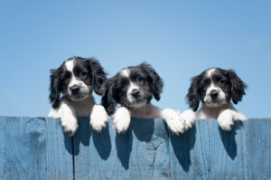 Dogs on Fence