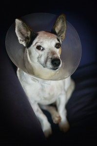 sad lonely dog after an operation
