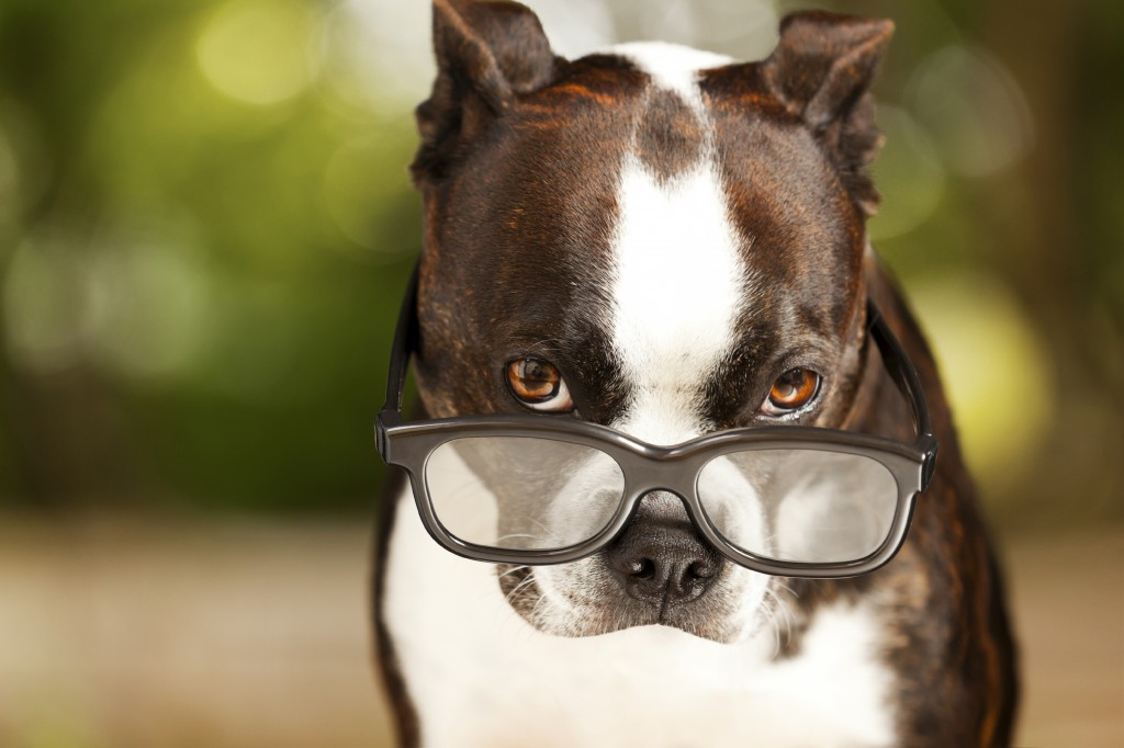A dog wearing glasses looks at the camera.