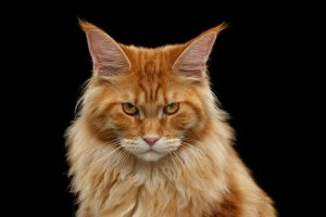 Close-up Angry Red Maine Coon Cat Looks Camera, Isolated