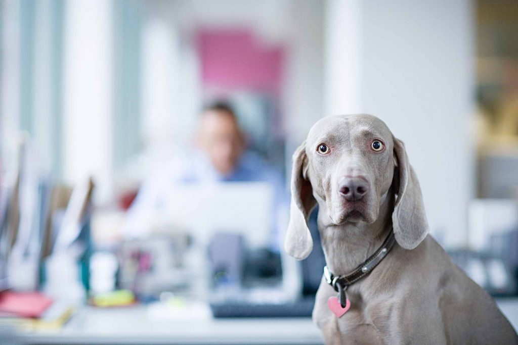 A greyish brown dog in front of a man in an office