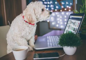 A white dog in front of a laptop