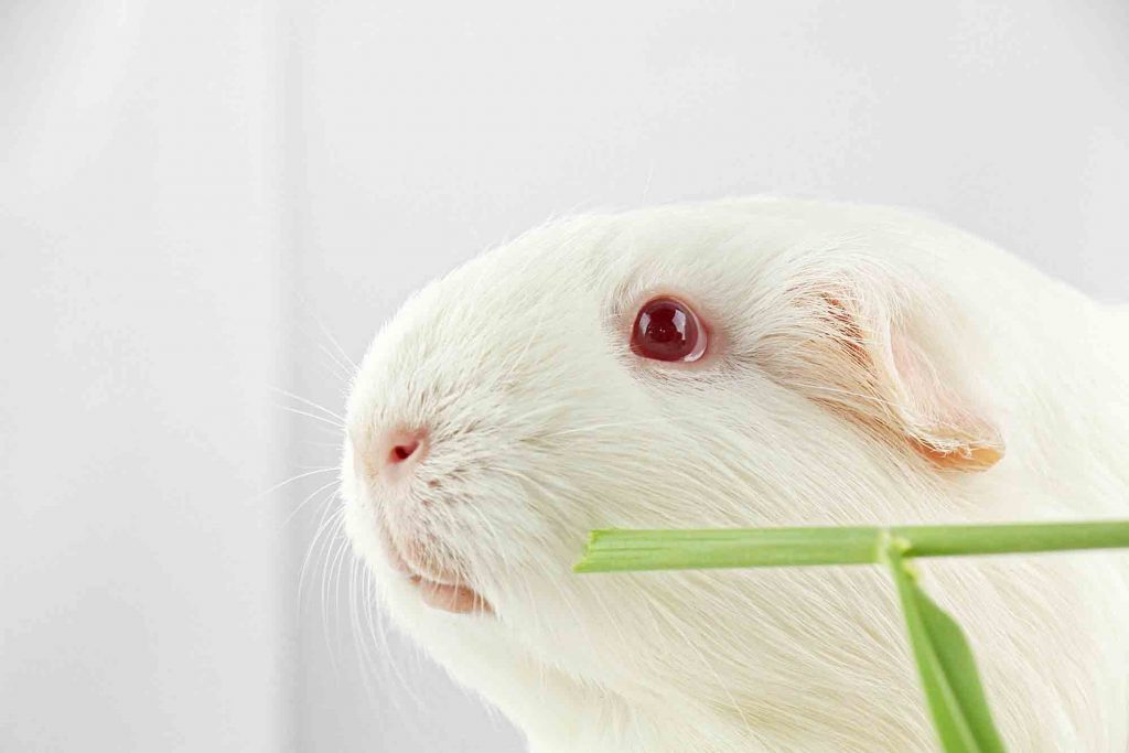 A guinea pig nibbling on a shoot