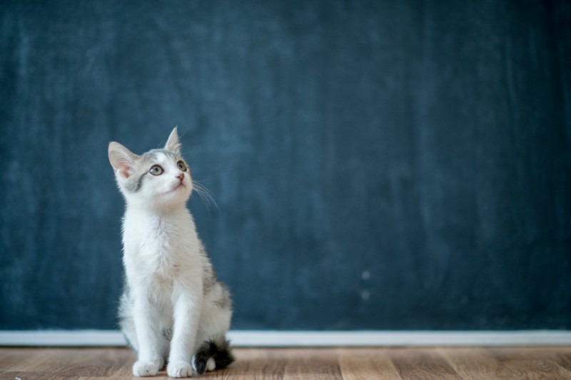 A white kitten sits in front of a blue-black wall