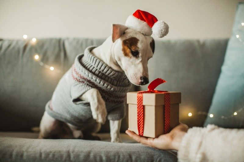A dog being given a Christmas gift