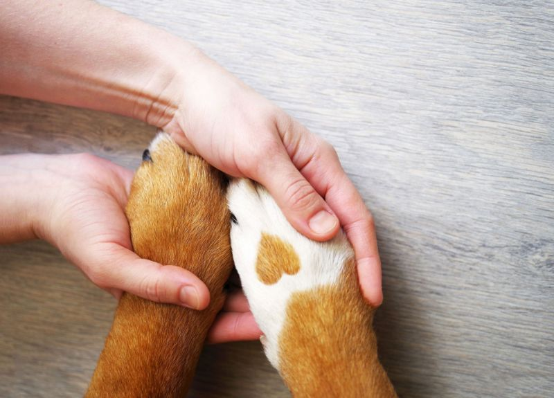 Dalmatian dog paw with a spot in the form of heart and human hand close up