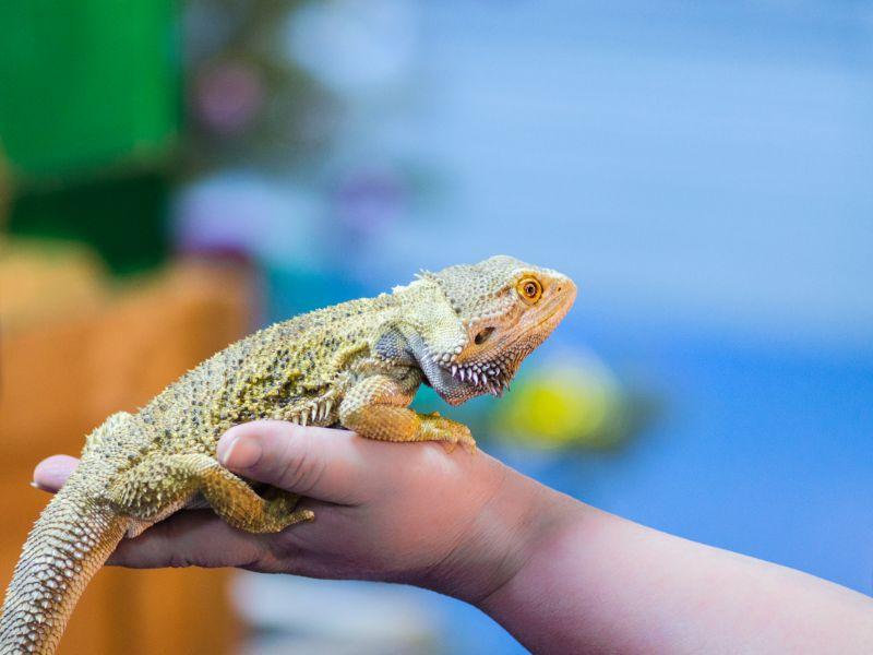 A bearded dragon sitting on a hand