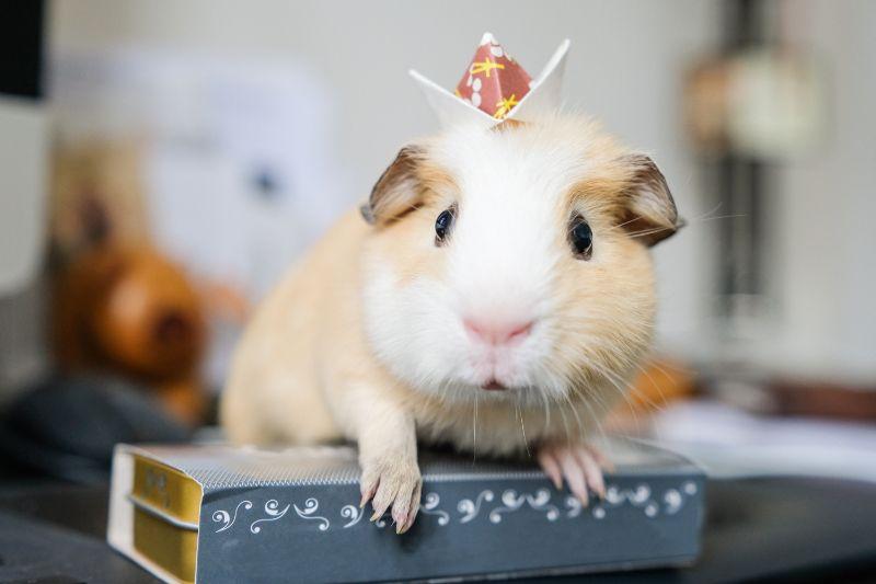 Guinea Pig wearing a jaunty hat