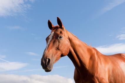 Elderly Horse